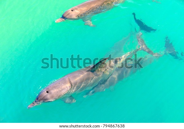 Closeup of dolphins swimming in Monkey Mia, a marine reserve near Denham, Shark Bay, on coral coast in Western Australia. Monkey Mia is the only place in Australia visited daily by dolphins.