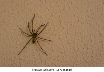 closeup of a domestic house spider, also known as barn funnel weaver, common spider found in homes, insect specie from Europe and America