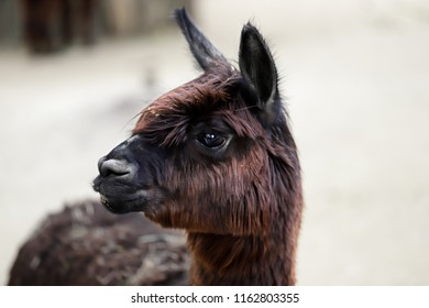Close-up of  domesticated Alpaca (Vicugna pacos) species of South American camelid. Photography of nature and wildlife.