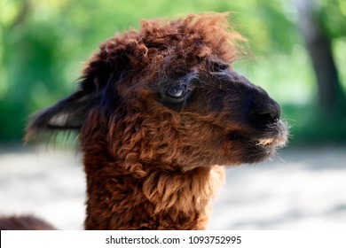 Close-up of domesticated Huacaya Alpaca (Vicugna pacos), nicety of head. South American camelid.