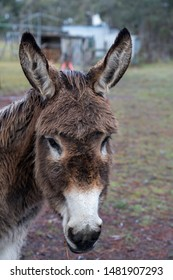 Closeup of Donkeys head on a farm in winter with snow falling in the background