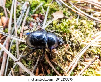 Close-up of dor beetle (earth-boring dung-beetle (Geotrupes stercorarius)) on the ground floor