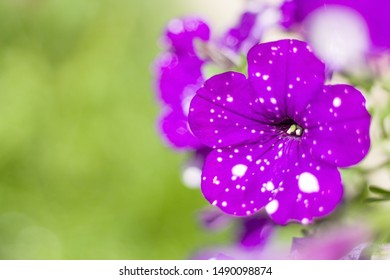 Closeup of a dotted Purple Petunia Night Sky Flower