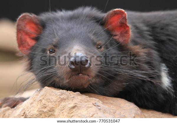 Closeup of a dozing tasmanian devil
