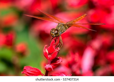 Closeup of dragonfly on red flower