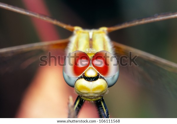 Closeup of a dragonfly perching on a dry stem with large red and blue eyes. Focus in the eyes. Sympetrum vulgaris