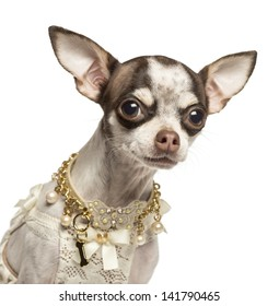 Close-up of a dressed up Chihuahua with fancy collar, isolated on white