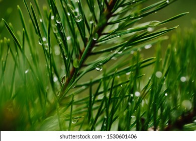 Closeup droplets of clean water on green twig of conifer tree in nature