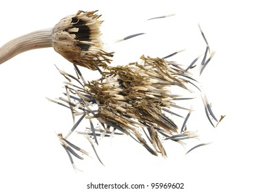 Closeup of dry bud and seeds of marigold isolated on white