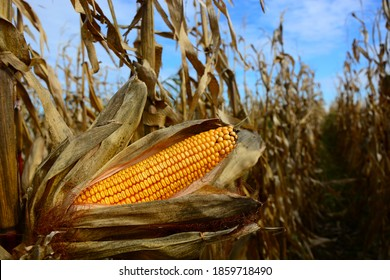 Closeup of dry corn cob ready for harvest.