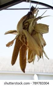 Close-up of dry organic corn.