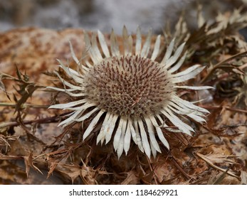 Close-up of a dry stemless carline thistle