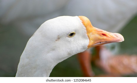Closeup of Duck at bhopal , india