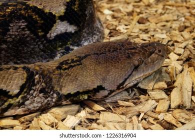 Closeup of Dumeril's boa (Acrantophis dumerili)