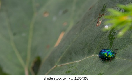 Close-Up Of Dung Green Blue Beetle On a leaf