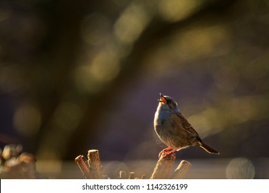 Close-up of a Dunnock, Prunella modularis, bird in a tree display and singing a early morning song during Springtime to attract a female.