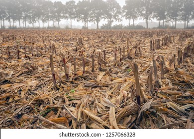 Closeup of a Dutch corn stubble field on a misty morning in the fall season. In the background is a row of tall trees. Everything is still wet and humid from the dew and mist.