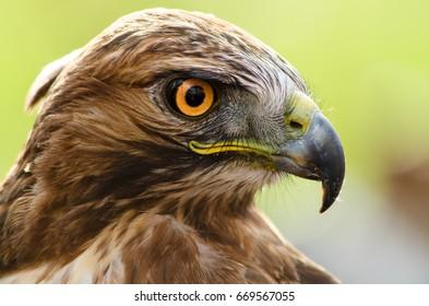 A close-up of eagle with orange big eyes