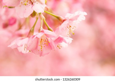 Close-up of early blooming Kawazu cherry tree