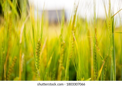 Closeup of ears of barley. There is a defocused village house on the background