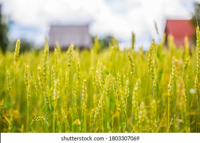 Closeup of ears of wheat. There are defocused village houses on the background