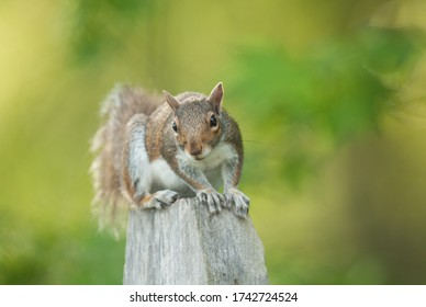 Closeup of an eastern gray squirrel (sciurus carolinensis) clinging to the top of a wooden fencepost