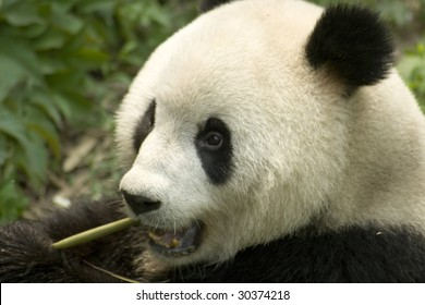 close-up eating big panda photo