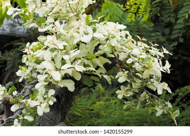 Close-up Ebony bonsai rare white leaves in flower pot decorate in green garden.
