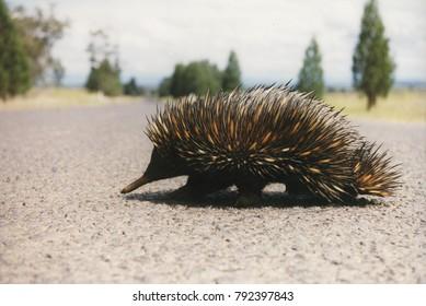 Closeup of echidna crossing a bitumen road with soft focus background.