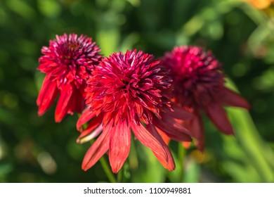"""closeup of a Echinacea """"Eccentric"""" flower head. Echinacea Eccentric"""