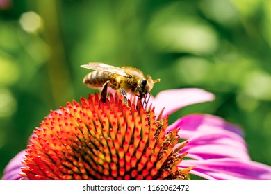 closeup of a Echinacea flower head with honey bee .