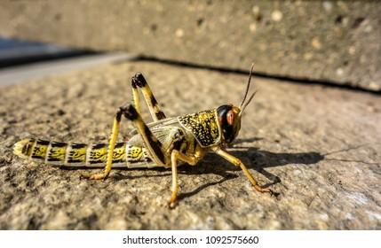 Close-up of an Egyptian Locust (Anacridium aegyptium) sitting on a stone.