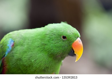 Closeup of the Electus Parrot (Eclectus roratus)