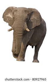 Close-up of Elephant bull against a white background; Loxodonta Africana