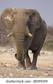 Close-up of Elephant bull walking in rocky field; Loxodonta Africana
