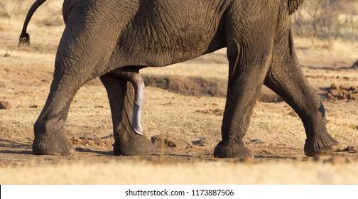 Dick elephant Elephant Dick