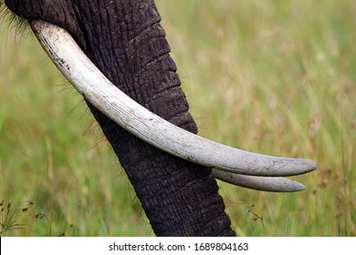 Close-up of elephant's trunk with long tusks with yellow-green background