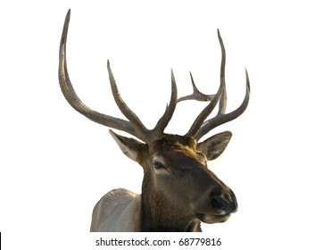 closeup of elk on a white background