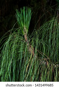closeup of the end of a branch of longleaf pine showing new growth and long gracefully drooping needles on a nearly black background