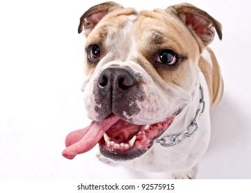 closeup of an english bulldog's face over white background