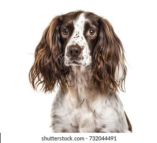 Close-up of english springer spaniel, isolated on white