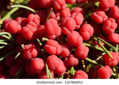 Close-up ephedra shrub with ripe red berries. Relict evergreen plant with reduced leaves and medicinal properties.