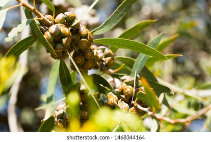 Closeup of eucalypt woody fruits (gumnuts) on green twigs in natural habitat