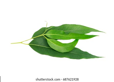 Closeup eucalyptus leaves isolated on white background, selection leaves.