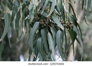 Close-up of an eucalyptus tree branch with green leaves and woody cone-shaped fruits (gumnuts) on a blurred background