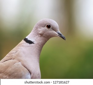 Close-up of the eurasian collard dove