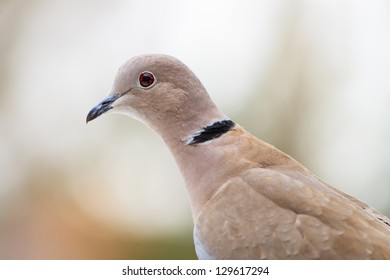 Closeup of the Eurasian collared dove