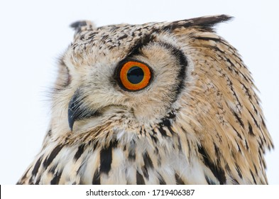 Close-up of a Eurasian eagle-owl