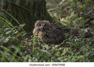 Closeup of a Eurasian Eagle-Owl (Bubo bubo)