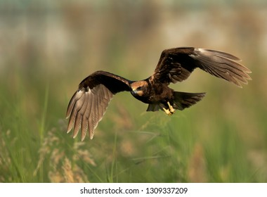Closeup of a Eurasian Marsh harrier, Bahrain